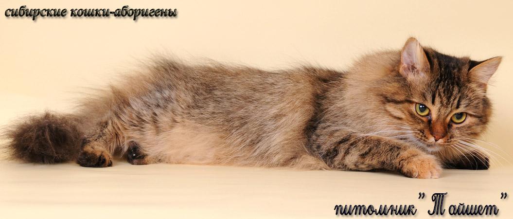 Восточносибирские аборигенные кошки