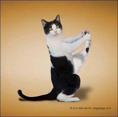 Асаны йоги в исполнении кошек