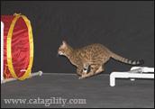 аджилити кошек