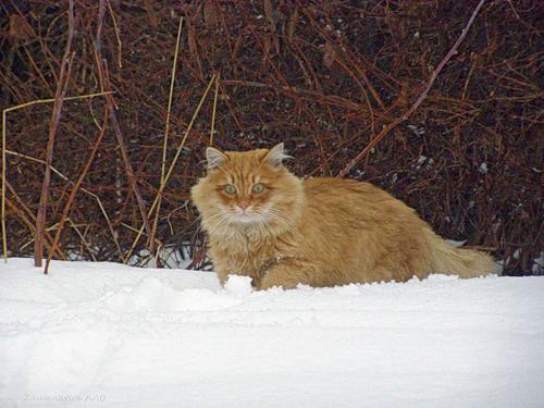 Домашние Сибирские кошки.