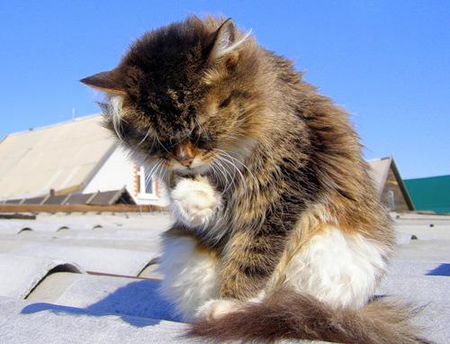 Домашние Сибирские кошки. Алтай.