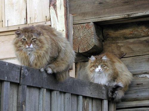Домашние Сибирские кошки. Тайшет.