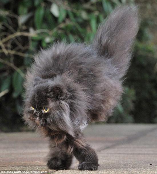 Двухлапый кот Кэфри