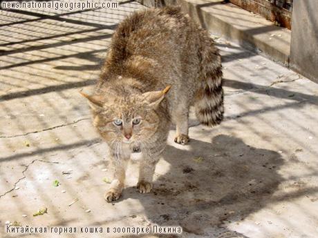 Китайская горная кошка в зоопарке Пекина