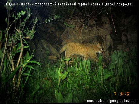 Одна из первых фотографий китайской горной кошки в дикой природе