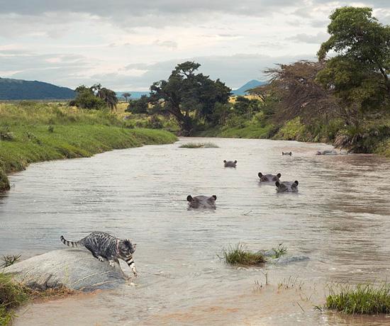 Big Cat, Small Cat – приключение домашней кошки в Африке