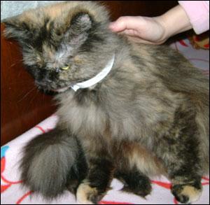 Блохи у кошки – превентивные меры защиты