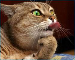 Интеллект кошек