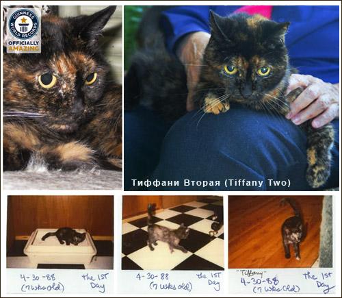 Кошки-долгожители - Тиффани Вторая (Tiffany Two)