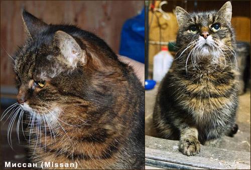 Кошки-долгожители -  Миссан (Missan)