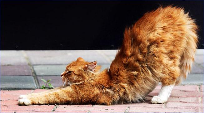 Потягивающаяся кошка