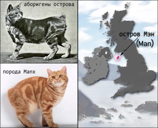Мэнкс - бесхвостые кошки острова Мэн