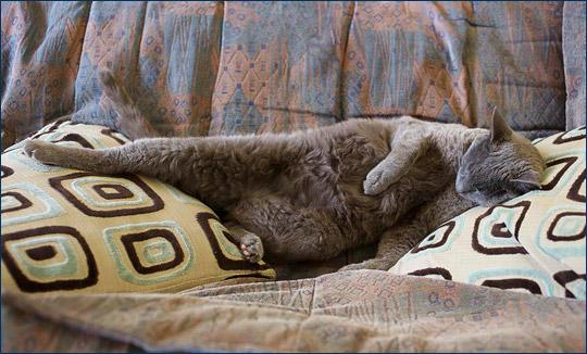 Кот Толли – модель для Topiary Cat