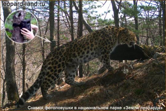 Учет дальневосточных леопардов при помощи фотофиксации