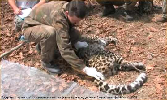 Убийство браконьерами дальневосточного леопарда