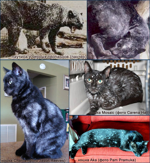 Проявление витилиго у кошек