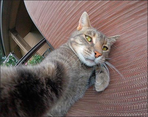 Делающая селфи кошка Менни (Manny)