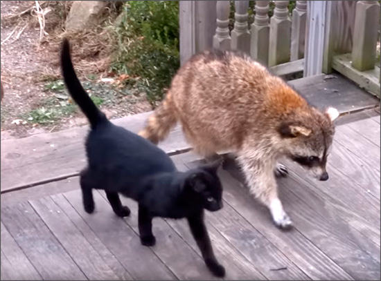Дружба слепого енота и кошек