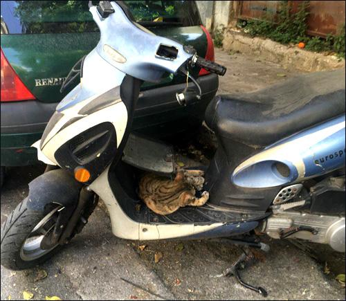 Кошка домашняя Felis silvestris catus