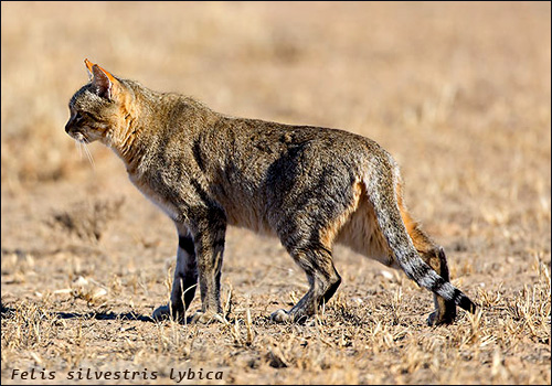 Felis silvestris lybica степной кот