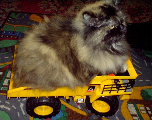 Felis silvestris catus или домашняя кошка