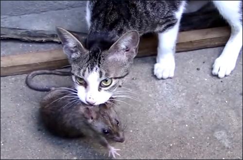 Домашняя кошка на охоте