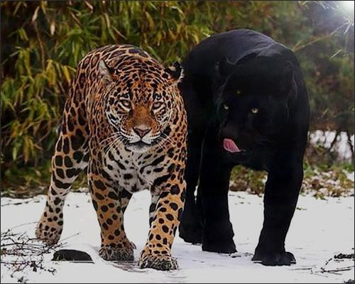 Леопард или Пантера