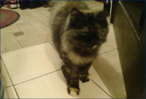 Домашняя кошка