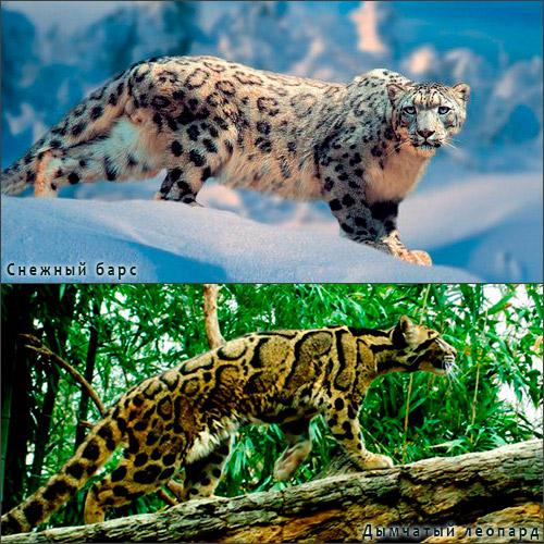 снежный барс и дымчатый леопард