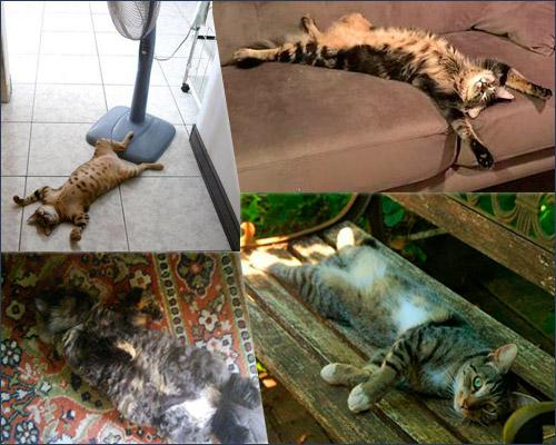 Кошки: Когда донимает жара