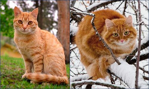 Кошки: летняя и зимняя шубка