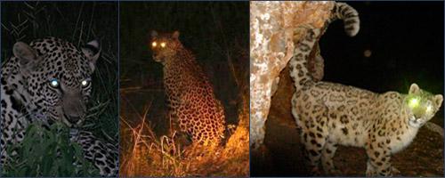 Светящиеся глаза диких кошек