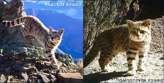 Дикие кошки Анд - андская и пампасская
